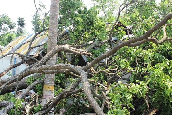サイクロンで大きな木が倒れ、工房が下敷きに。
